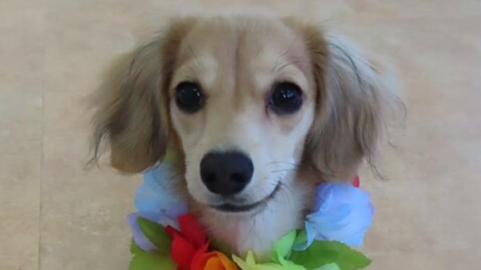 新入犬のMIX(チワワ×Mダックス)の【さくらちゃん】 犬のしつけ教室@アロハドギー