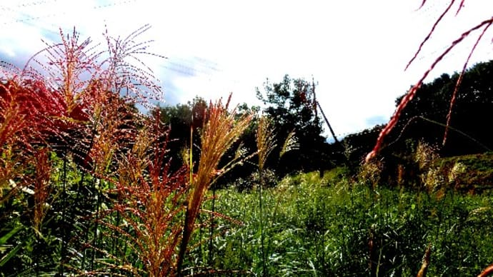 イネ科植物のススキの仲間、赤い穂と白い穂のススキ、オギとヨシ、他