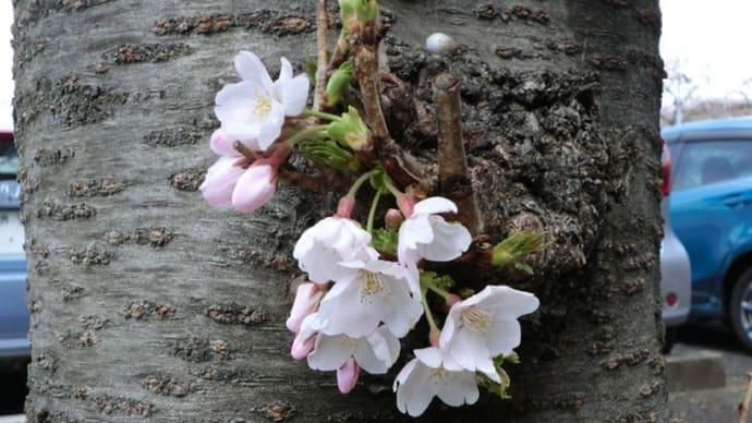 桜祭り開催📷街角ぶらり旅