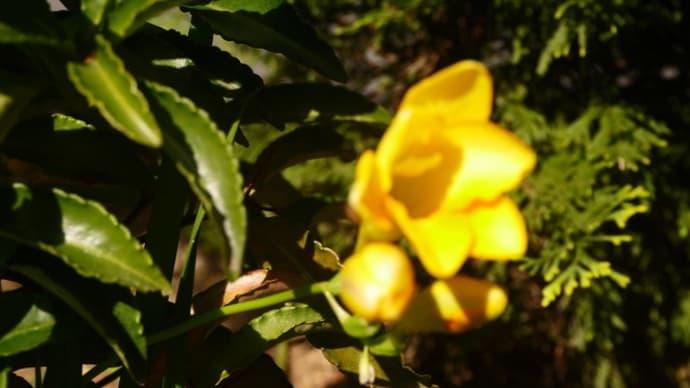 フリージアの花と餃子