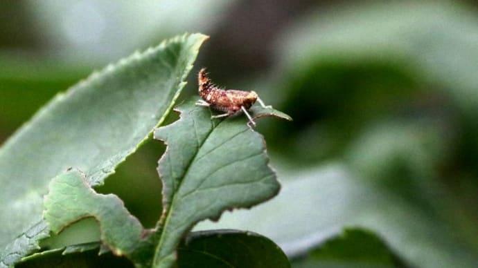 リンゴマダラヨコバイ(幼虫)
