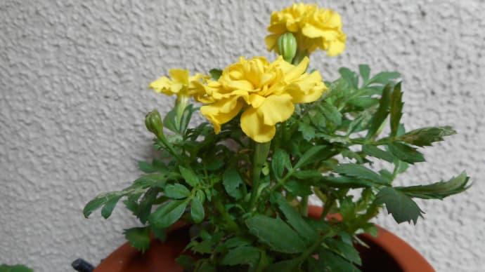 黄色の花は…