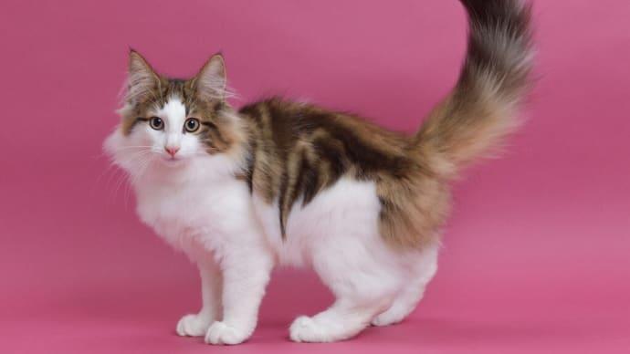 ノルウェージャンフォレストキャットの子猫です。