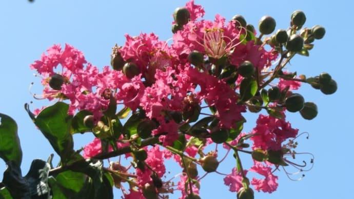 真夏の花 自宅(サルスベリ、ムクゲ、タイワンサッコウフジ、デュランタ)