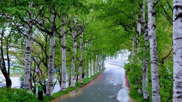 札幌・街の一コマ : 白樺