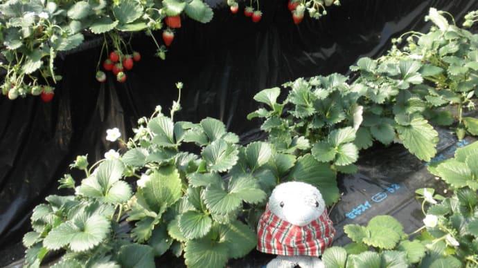 イチゴ狩り行きました。