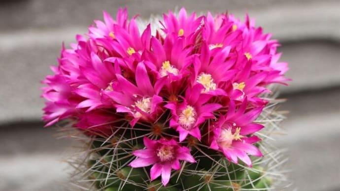【多肉】サボテンのマミラミアの花が冠上に咲きました