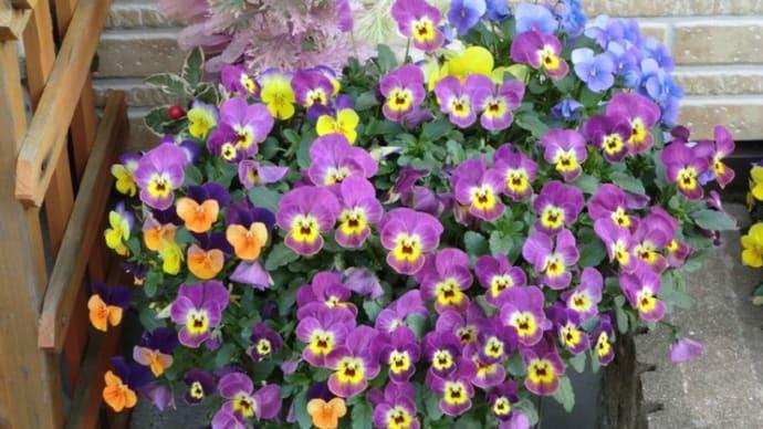 玄関前に咲く花📷街角さんぽ(1)