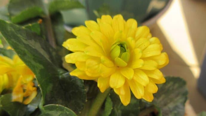 今日の花(ヒメリュウキンカ)