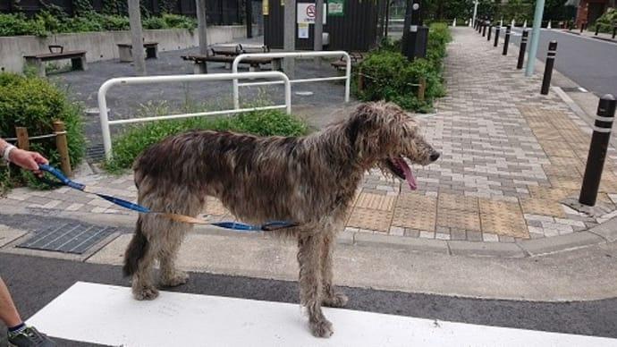 珍しい超大型犬