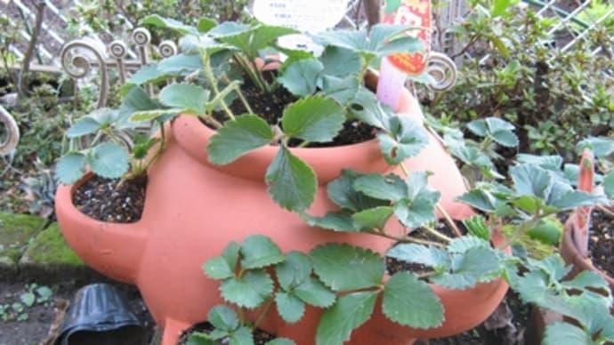 ストロベリーポット(半月経過)+かいわれ大根の栽培をスタート
