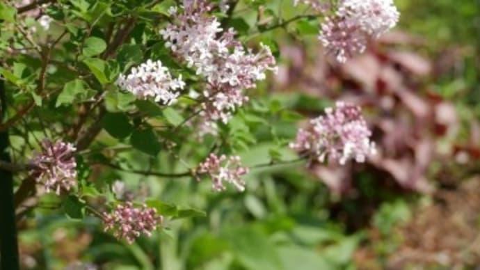 八分咲きの姫ライラックと遅咲きの原種系チューリップと一寸だけ映画情報