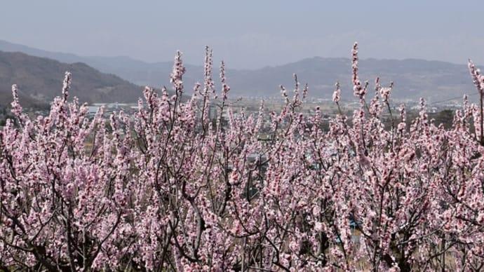 アンズの里:満開のアンズ、桜も満開!