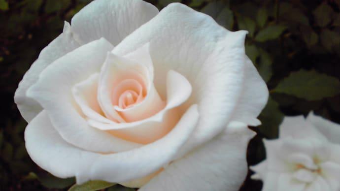 中ノ島バラ園で、清楚な白バラに出会いました♪