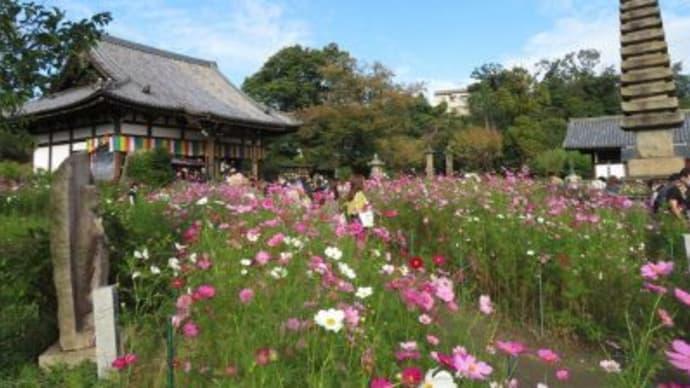 一面に広がるコスモスに感動…!奈良のお寺で見つけた「期間限定の絶景」【気になるNEWS特番】