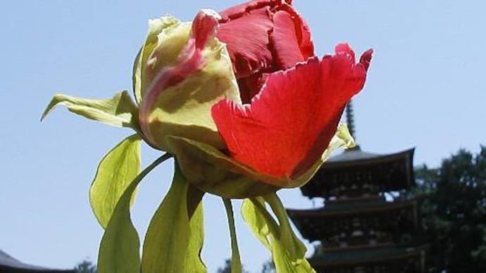 鳳台院-牡丹・石楠花-