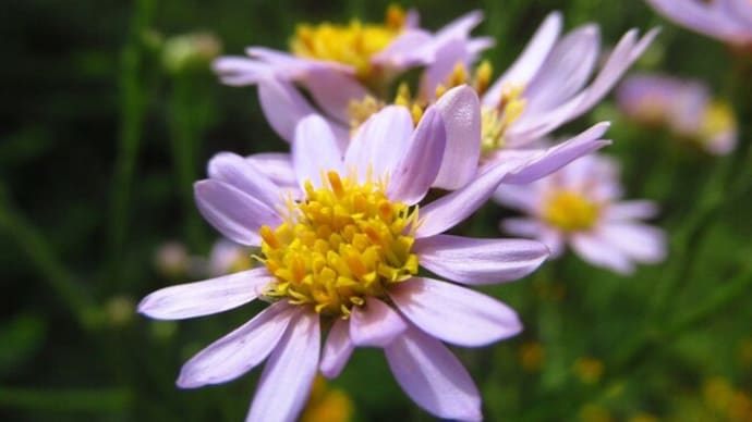 シオン(紫苑)
