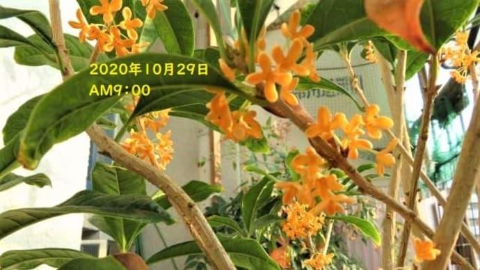 キンモクセイ&自然の香りいいですねミャミャ😺