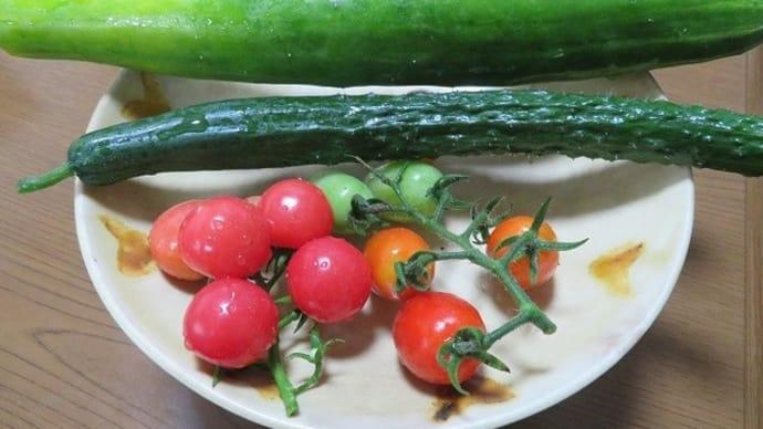 楽書き雑記「再開した庭の『超ミニ野菜畑』でミニトマトとキュウリを収穫」