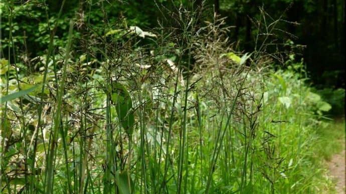 笹の花とコメガヤ