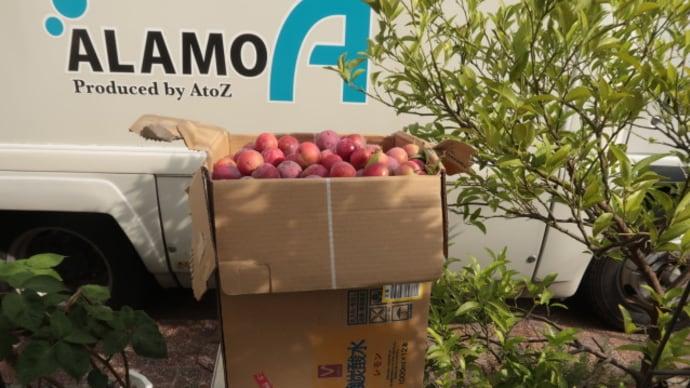 スモモの収穫後に苦労するのは大量のジャム作り (2020/6/25)