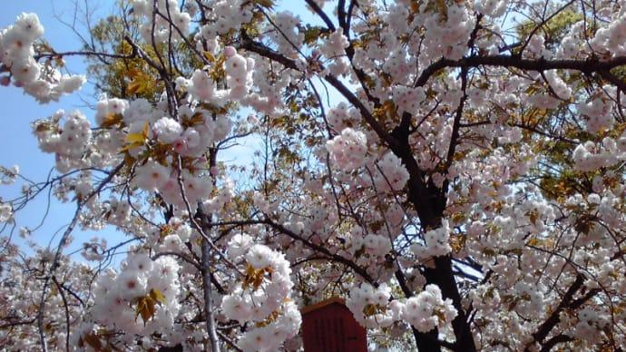 造幣局の桜の通り抜け行ってきました♪