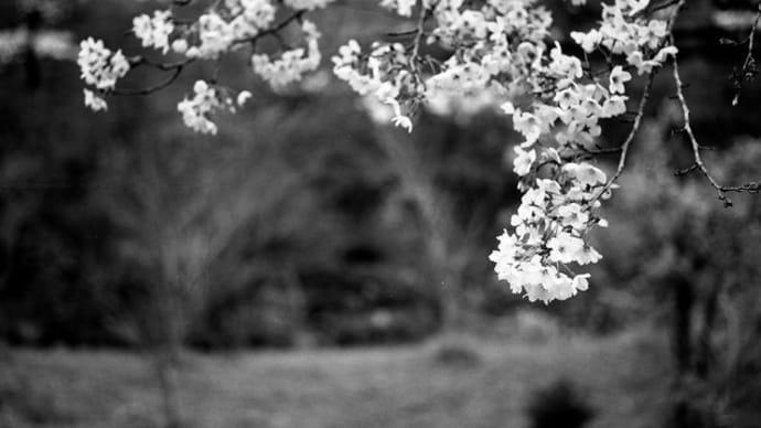 2019年春の桜 モノクロフィルム