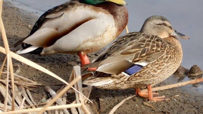 大沼の水鳥たち ①