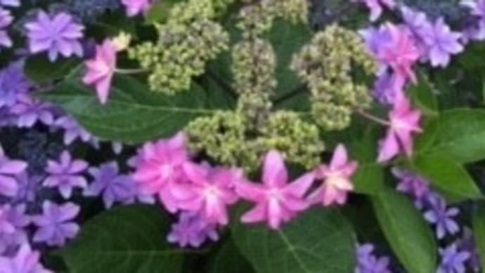 全粒粉入りハードパン、紫陽花に癒されて