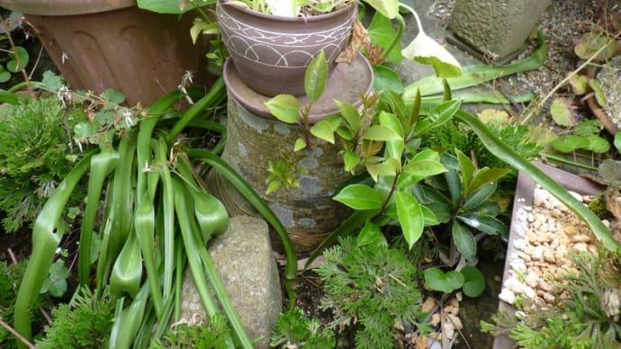 「うれし~い」クロガネモチから芽が出た。