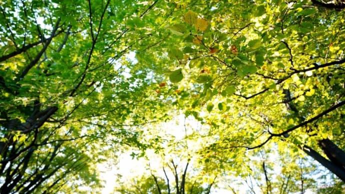 サネカズラの実とバラ、フヨウ、オクラの花(赤塚植物園 2020.10.25 撮影)