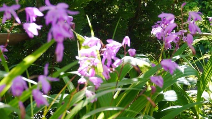 紫蘭がきれいです