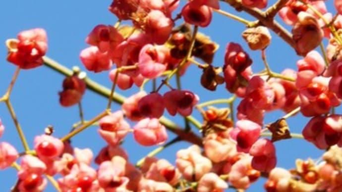 夾竹桃の実