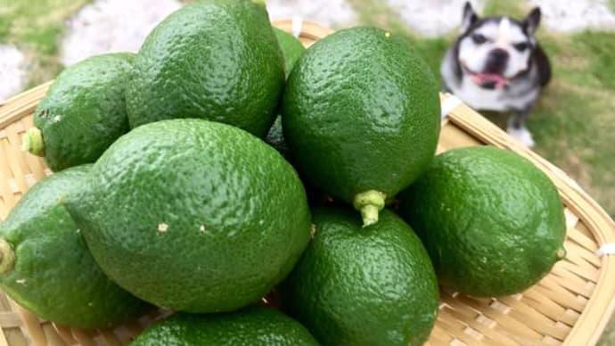 今年もレモン初収穫