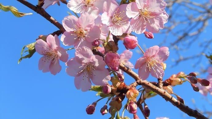 神社境内 3月 ④【カワヅザクラ(河津桜) シキザクラ(四季桜)】