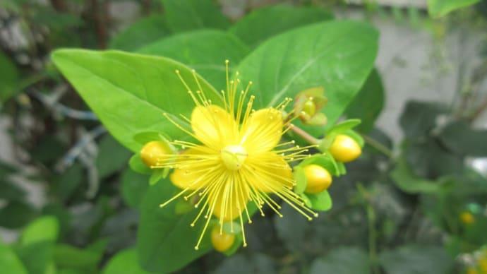 今日の花(ビヨウヤナギ)