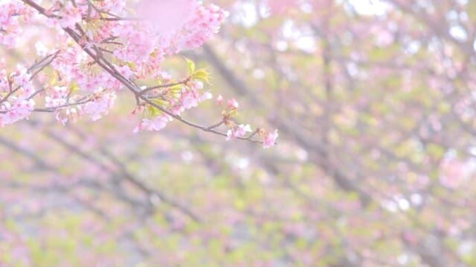 sakeの歩窓から(河津桜と菜の花のアップ)