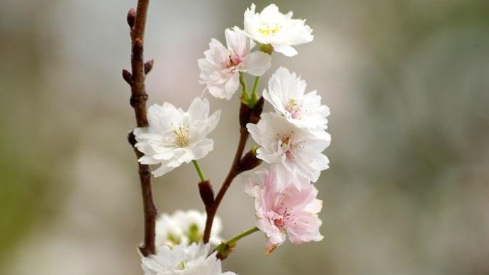 冬桜 & 紅葉