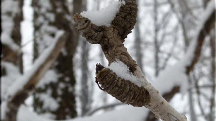 冬芽と葉痕-2