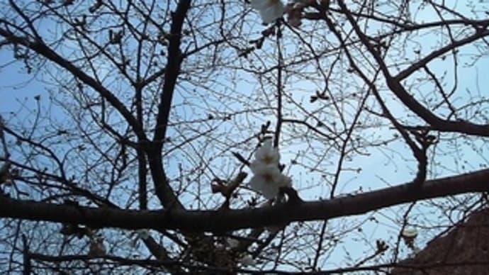 桜の開花とイタメシ