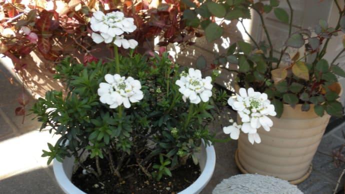 白い花買いました。