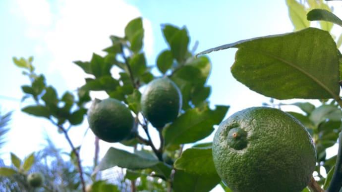 今季初収穫~緑色のレモン