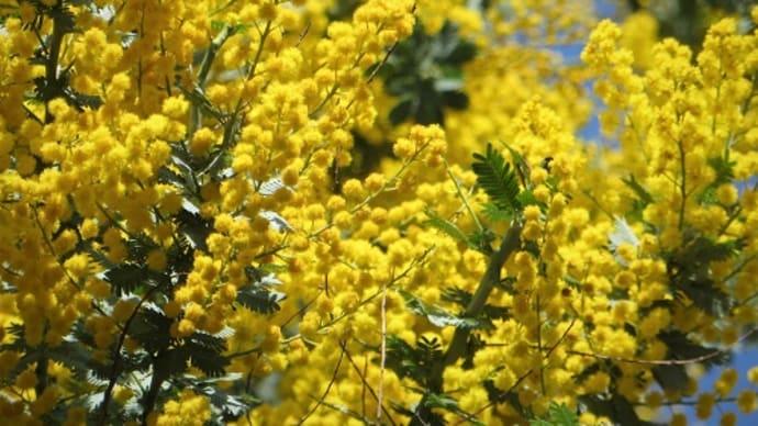 メモ帳1121ページ ミモザ(アカシア)の花