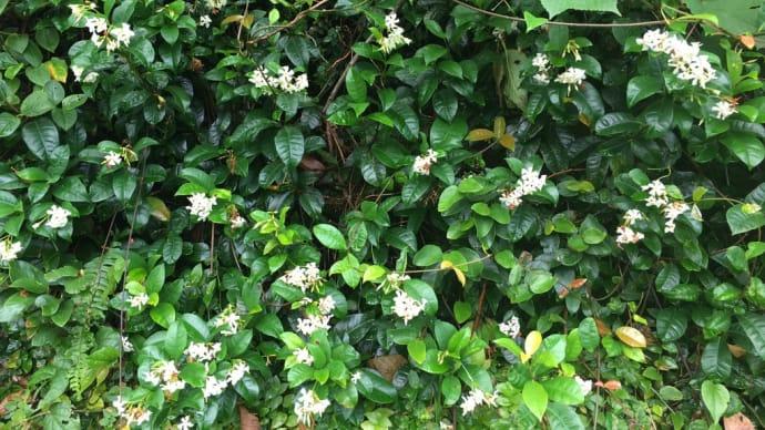 テイカカズラのお花も咲いていました。