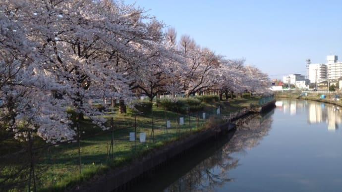 栗の木川桜:ウオーキング