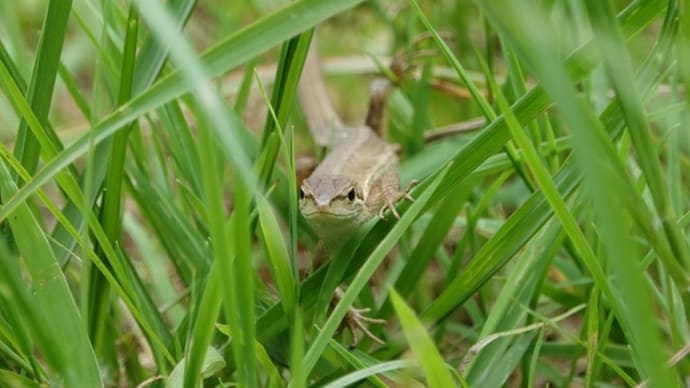 カナヘビ ~草を分けて~