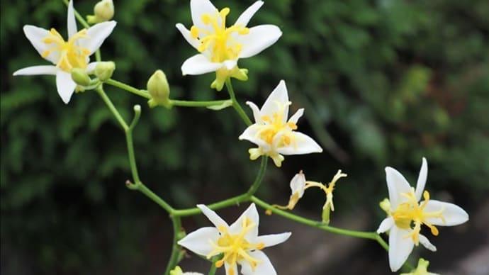 開花中の山野草・・・ホトトギス、センノウゲ、アオヤギバナ・・・
