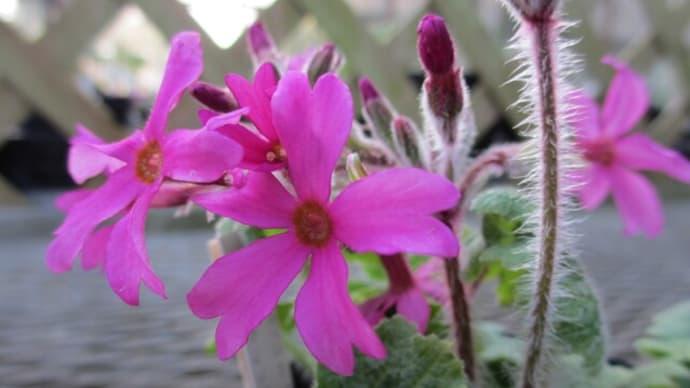 つくば植物の華花:春④