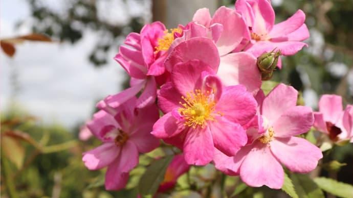 今朝の庭①*ラベンダードリームやツルバキア・ビオラセア