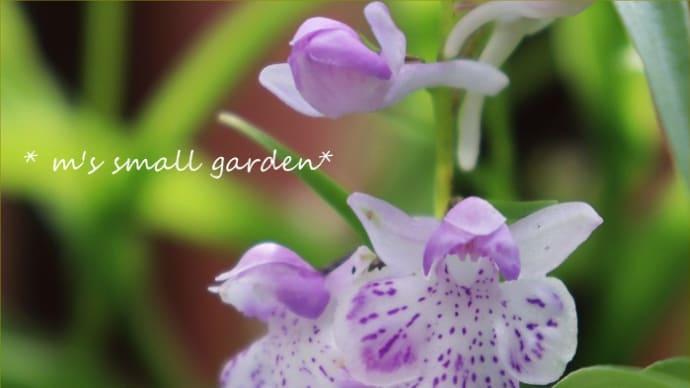 どう見ても天使?*淡い色の羽蝶蘭と庭の様子